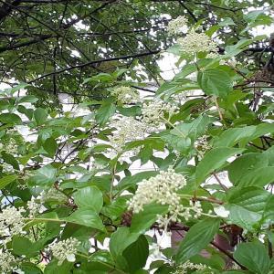 いかにもアジサイ科らしい、アジサイ科のウツギ⑥ <お花で一休み(83)>