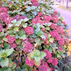 札幌・街の一コマ : 晩秋の紫陽花