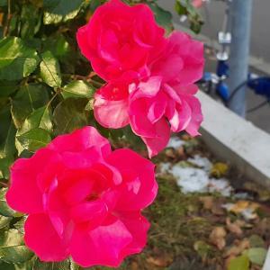 札幌・街の一コマ : 今シーズン最後のバラ
