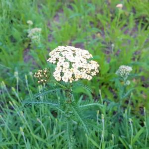 お花で一休み(102) 散形花序と散房花序