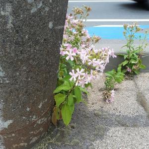 お花で一休み(116) サボンソウ