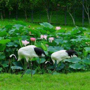 和気自然保護センターより 丹頂鶴と蓮の花