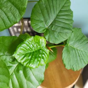 インテリアグリーンの効果とおうちカフェ