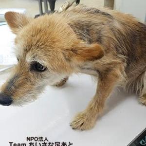 この子たちを助けたい!多頭飼育の犬たち ひどい皮膚病の子 経過報告
