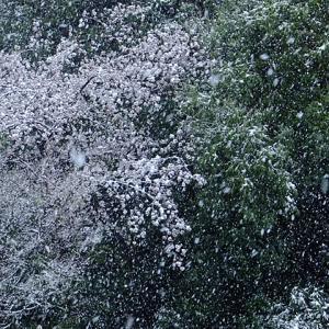 桜に雪が降り積もる。4月前の雪やこんこん