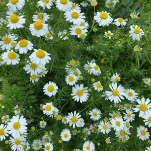 自然に触れよう♥️蜜蜂みたいにカモミールの香りに埋もれる