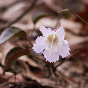 イワウチワの開花を求めて 〜滝見線を走る〜