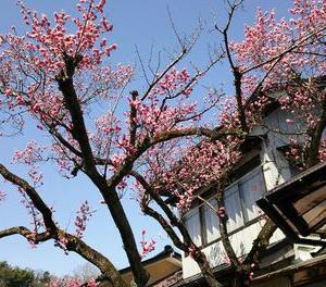 奥州市前沢は梅が満開 桜の開花は?