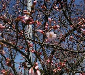 奥州市前沢 桜開花しました!満開予想日を大幅修正!