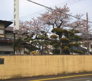 奥州市前沢の桜は5分咲きから満開 今年は一気に咲きませんね~