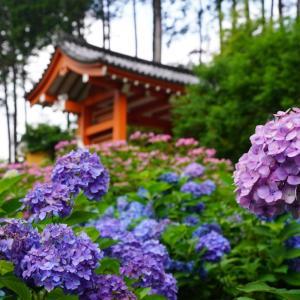 京都 三室戸寺 ハート紫陽花探し