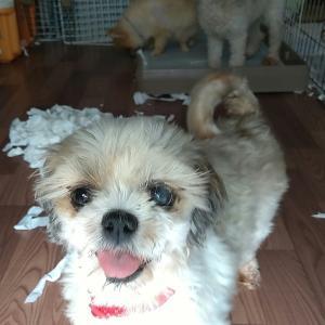 【小型犬多頭崩壊】の保護予定(27日)ボランティア募集 ショートステイ・シャンプー・搬送