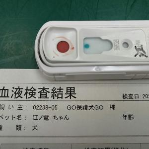 ミニピン江ノ電クン、医療フルコース完了 歯は11本抜きました