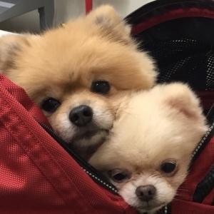 【幸せの歩み】卒業犬こうや君&おぼろちゃん@東京―その1(エママさんダイジェストより)