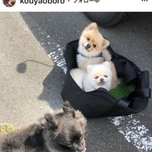【幸せの歩み:歩けなかった僕】卒業犬こうやおぼろちゃん@東京-その2(エママさんダイジェスト)