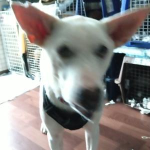 【幸せ準備できた】白い大型犬ソード君、預かりさん宅へ移動しました