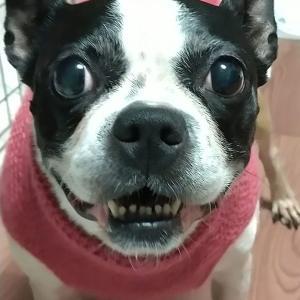 【なんでだろ笑顔になっちゃう!しつけ済ボストンテリア】帰宅時大喜びが嬉しいね ひすいちゃん