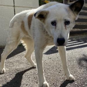【保健所から保護】御殿場の白い棄てられシニア犬、名前はコチ(東風)
