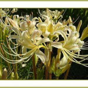 (令和2年9月23日)白花の曼珠沙華咲く密かなり♪