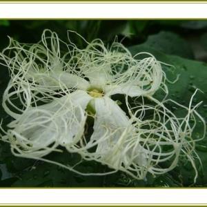 (令和2年9月24日)烏瓜の花は白髪の乱れ髪♪