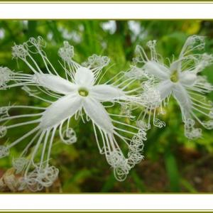 (令和2年9月25日)蛇瓜の花も実もある彼岸明け♪