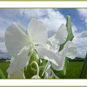 (令和3年9月12日)ジンジャーの花透き通る空の雲♪