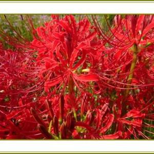 (令和3年9月23日)彼岸花草葉の陰も花盛り♪