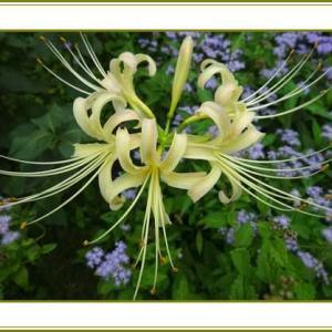 (令和3年9月24日)白花の曼珠沙華咲く密かなり♪
