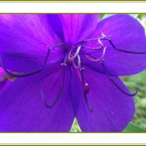 (令和2年8月2日)紫紺野牡丹ビロード生地の一張羅♪