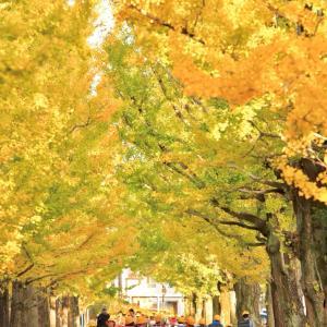 【 黄金色の並木道 】