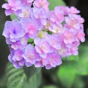 【ハート型の紫陽花】