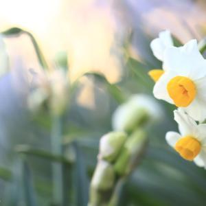 【 希望の象徴 水仙 】