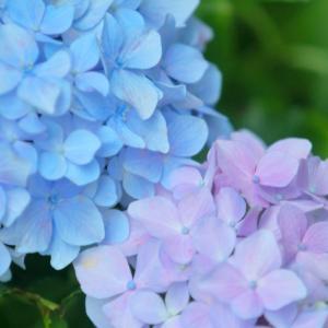 紫陽花の咲く季節