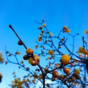 蝋梅の甘いかおり