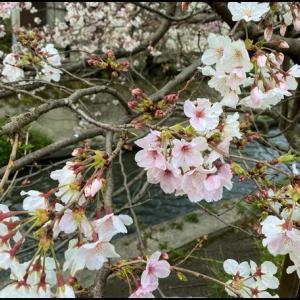桜が咲いたが。