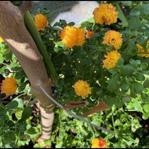 お盆に、きれいに咲く菊?マム?便利だわ。