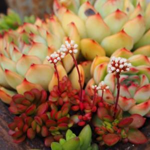 花うららの寄せ植え・・・紅稚児の心奪われるシーン