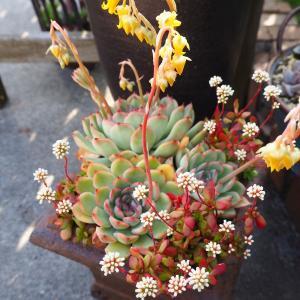 花うららの寄せ植え・・・キュートな花の共演