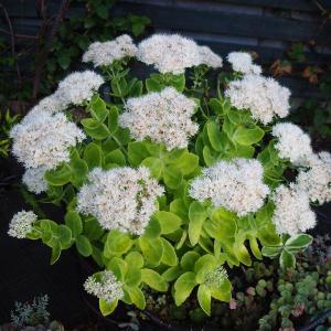 大鉢の大型セダムの花が満開に♪