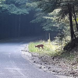 散歩中 可愛い子鹿 出没