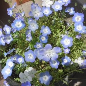 ネモフィラの芽とセラトーの花