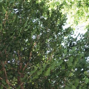 銀杏の木と最近とっているTS