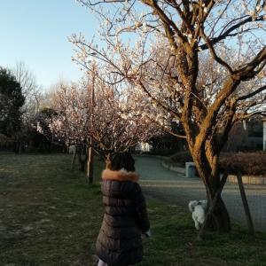 夕日に染まる梅