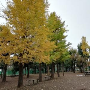 色付き始めたイチョウの木