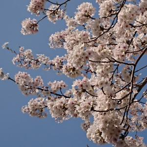 春のおすそ分けです(∩ˊᵕˋ∩)・*