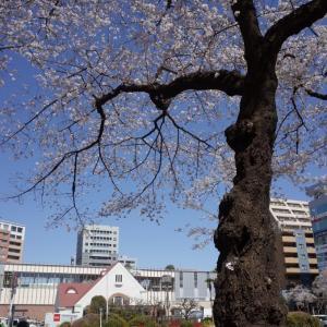 中央線に桜、咲く。