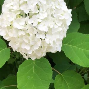 白い花が清楚で涼やかです