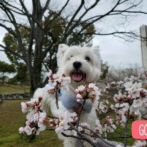 桜が咲いてきたね♪♪♪