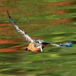 若メス、若オスの当歳カワセミ2羽は相変わらず仲が良く、10月のダイブもけっこう多いかも 水元公園かわせみの里 の巻