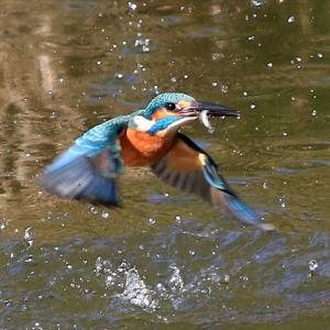 あんまし表に出て来ない日もあるけれど、仲よしカワセミ2羽で1日15回~25回ダイブしている 水元公園かわせみの里 の巻